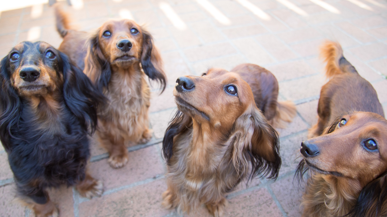 Internet Marketing Attention Capturing Dachshund Pack shot